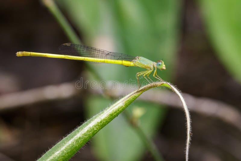 Ceriagrion coromandelianum蜻蜓的图象 免版税库存图片