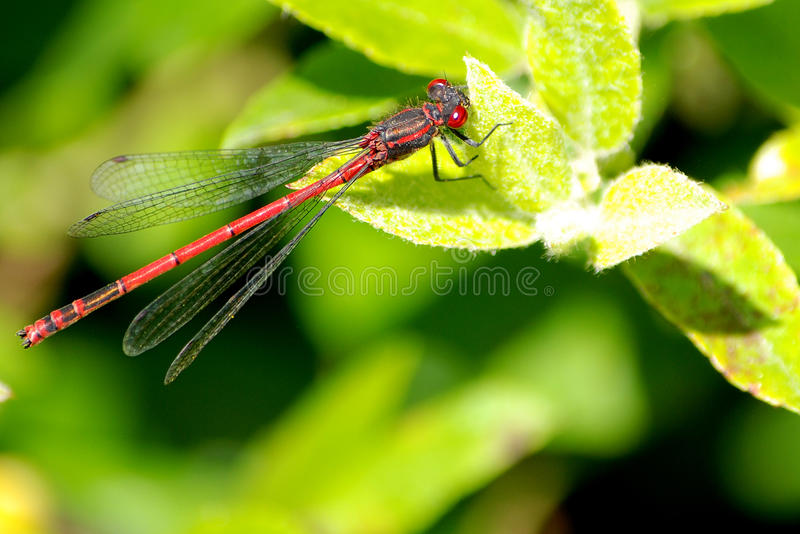 A Ceriagrion tenellum small red damselfly stock photo