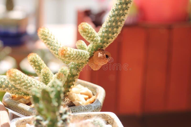 Ceriana wasp. Wasp-mimic Hoverfly(Hymenoptera Ceriana sp) nest on the wall on cactus stock image