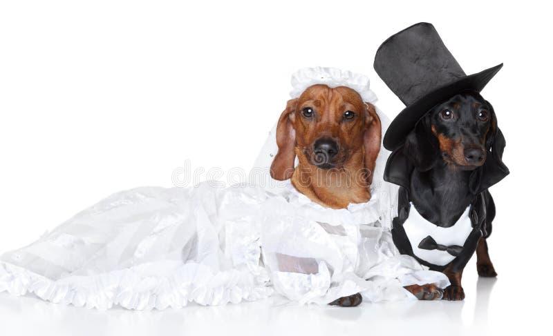 Cerimonia nuziale alla moda del cane del Dachshund fotografie stock libere da diritti