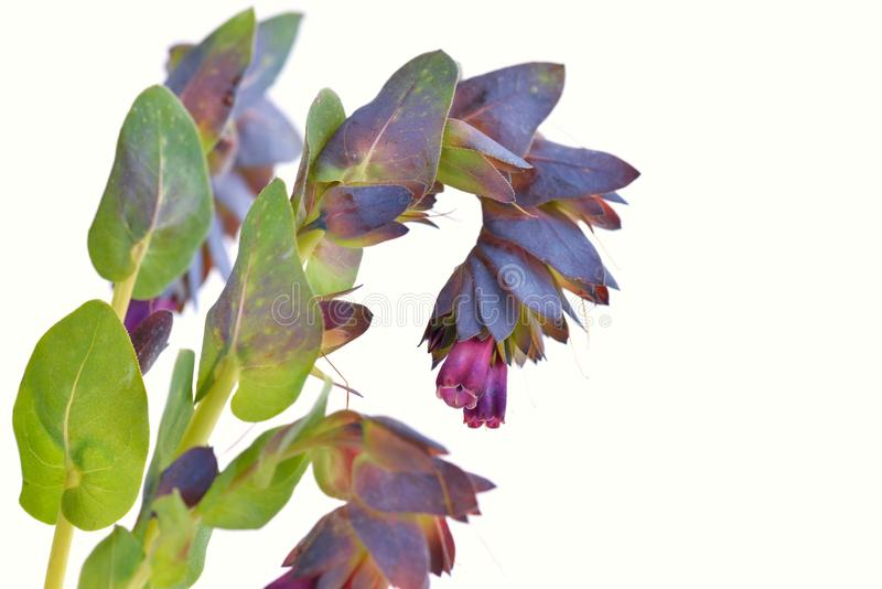 Cerinthe Major purpurascens Blau honeywort stockbilder