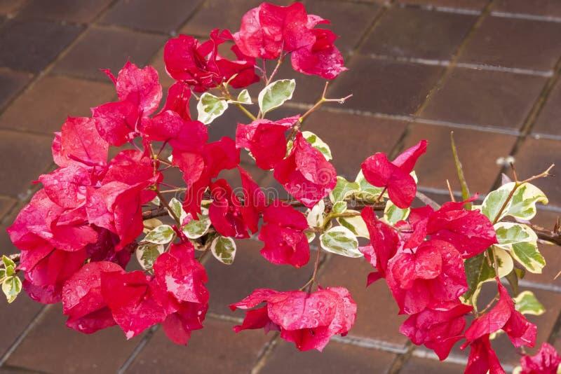 Cerise Bougainvillea Flowers Sprinkled med regndroppar arkivfoton