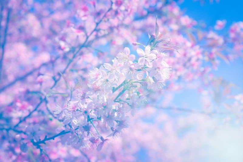 Download Cerise De L'Himalaya Sauvage De Fleur Abstraite Colorée De Fond Au Chi Photo stock - Image du himalayan, fleur: 76083462