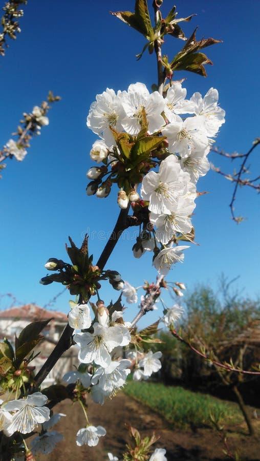 Cerise fleurie photographie stock