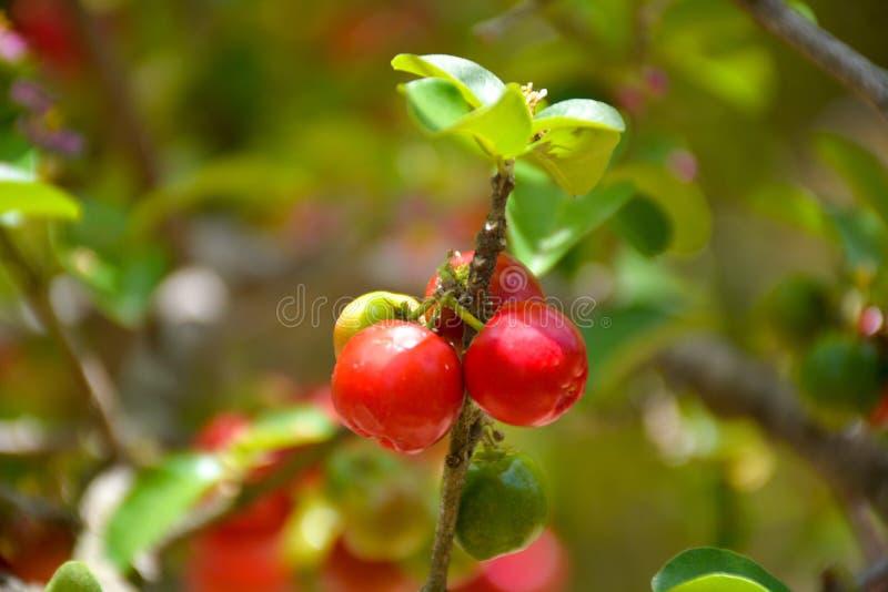 Cerise organique fraîche d'Acerola sur l'arbre images stock