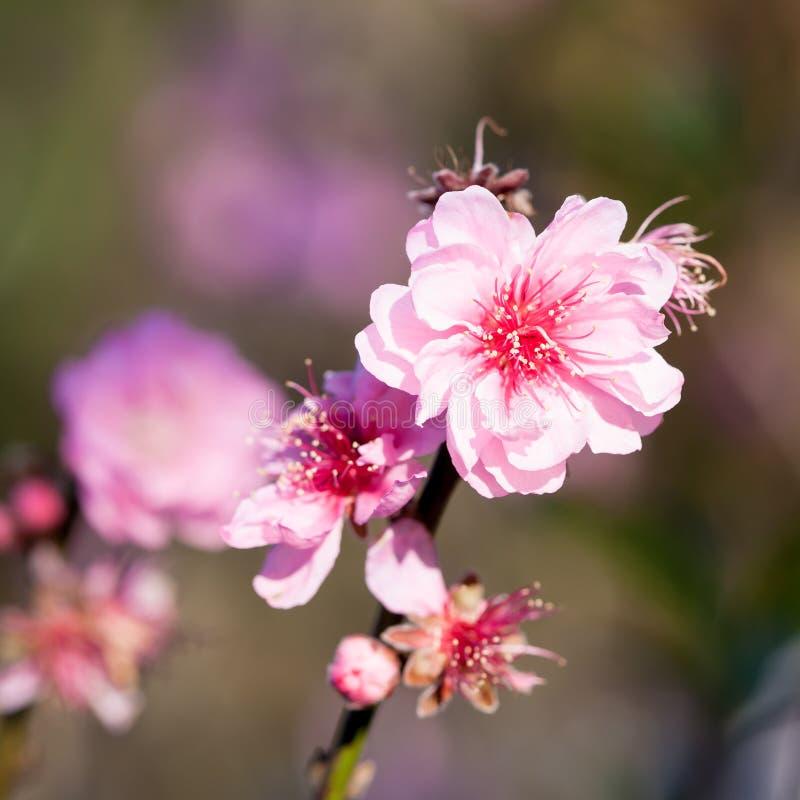 Cerise Ou Fleur De L'Himalaya Sauvage De Sakura Image stock - Image du ciel, romantique: 36491357