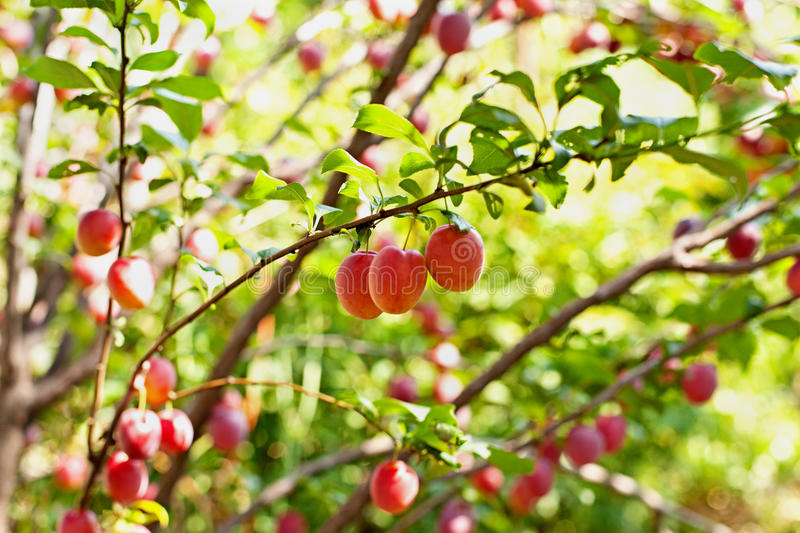 Download Cerise-prunes Sur Les Branches Image stock - Image du agriculture, fruit: 76085397