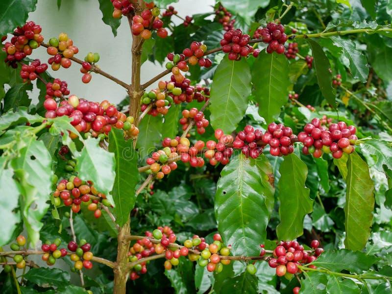 Cerise rouge de café sur l'arabica de branche et arbre robusta dans la plantation de café avant la moisson photographie stock libre de droits