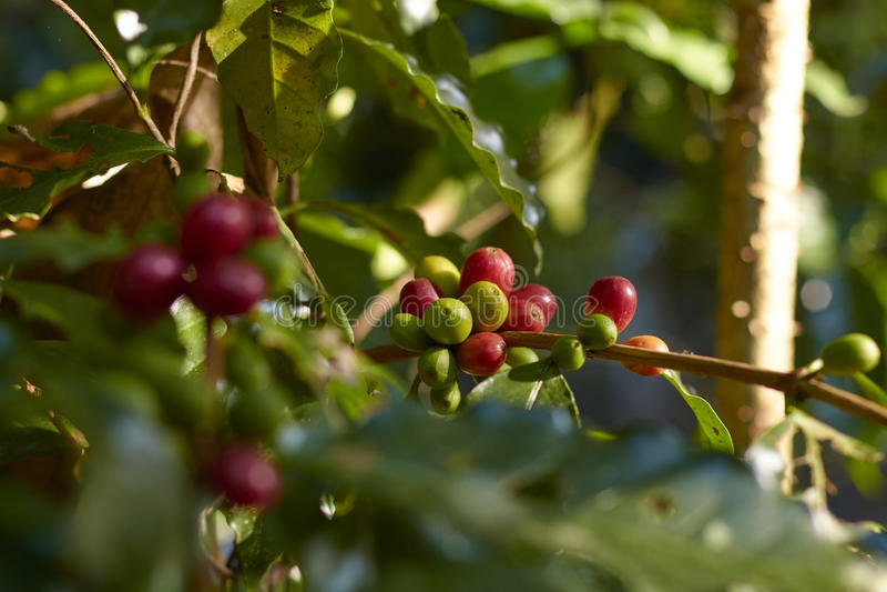 Cerise rouge de café sur la branche Grains de café photographie stock