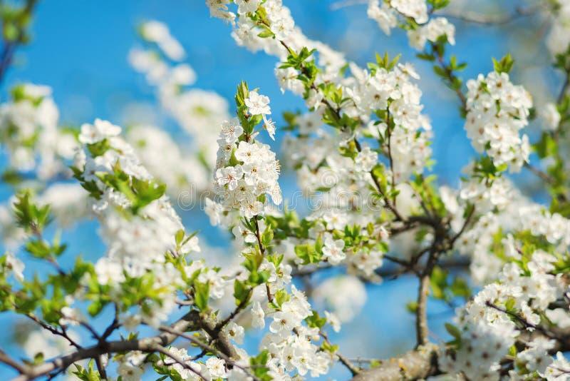 Cerise sauvage de floraison fraîche, Sakura contre un ciel bleu photo stock
