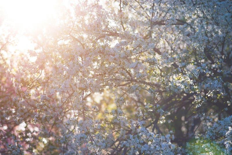 Cerise sauvage de floraison fraîche, Sakura sur un fond brouillé image stock