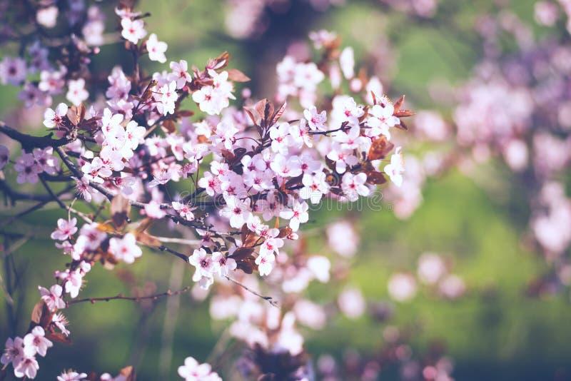 Cerise sauvage de floraison fraîche, Sakura sur un fond brouillé rose photos stock