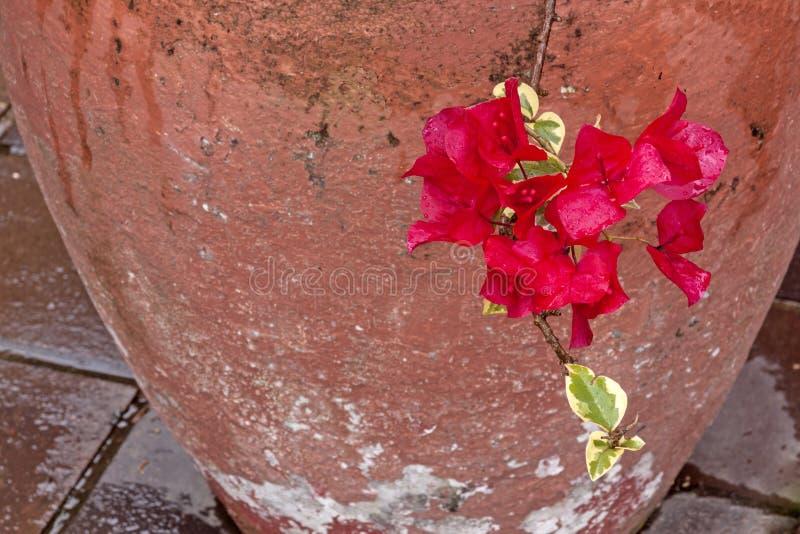 Cerise Wet Bougainvillea Flowers met Geschilderde Cementpot royalty-vrije stock foto's