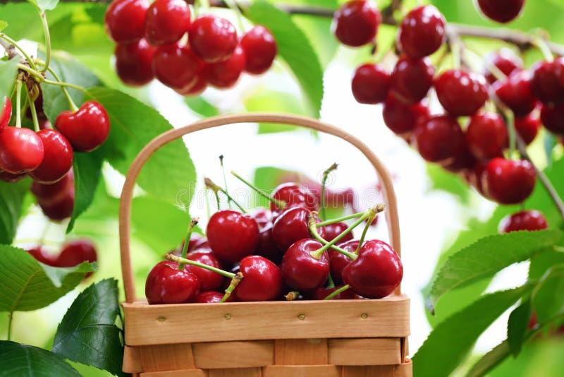 Cerises rouges fraîches photos stock