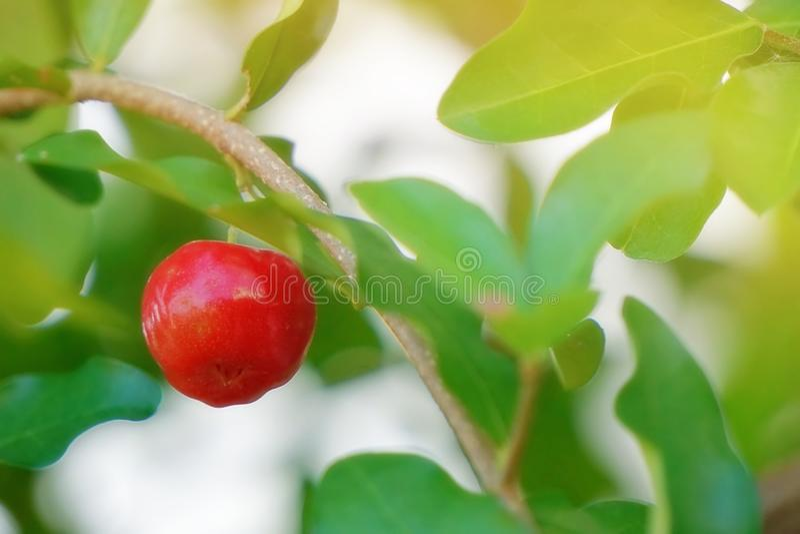Cerises rouges, sur les branches brunes et les feuilles vertes images stock