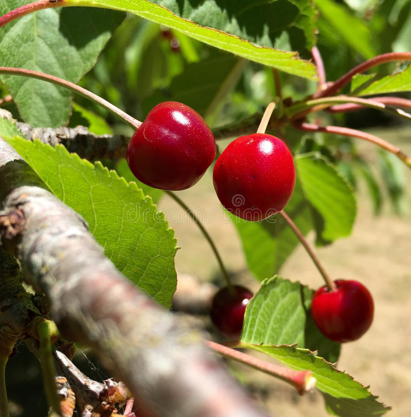 Cerises sauvages s'élevant sur l'arbre photographie stock