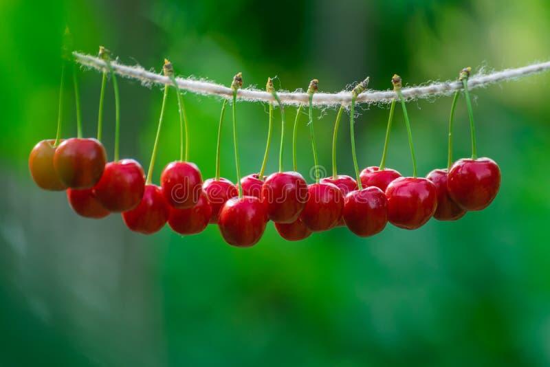 Cerises sur la ficelle dans le jardin un jour ensoleillé images libres de droits