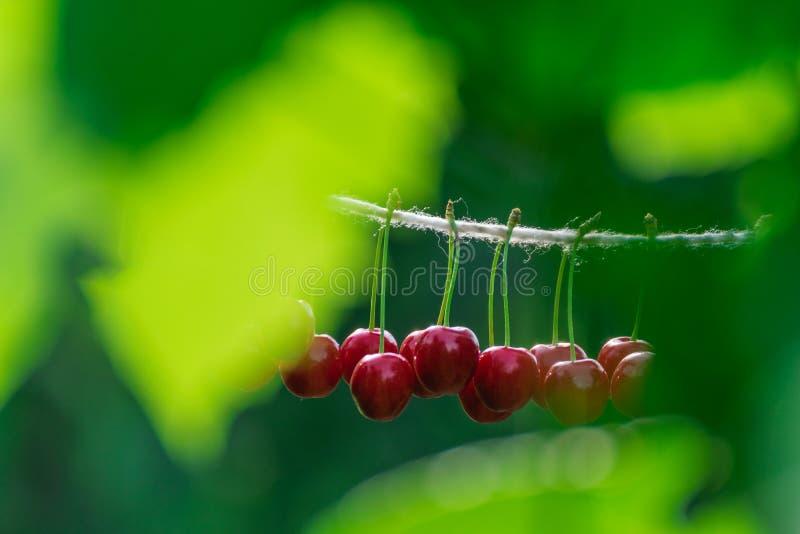 Cerises sur la ficelle dans le jardin un jour ensoleillé image stock