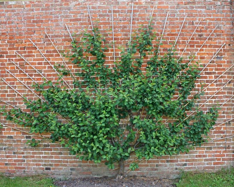 Cerisier. image libre de droits