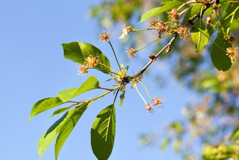 Cerisier avec des fleurs photographie stock