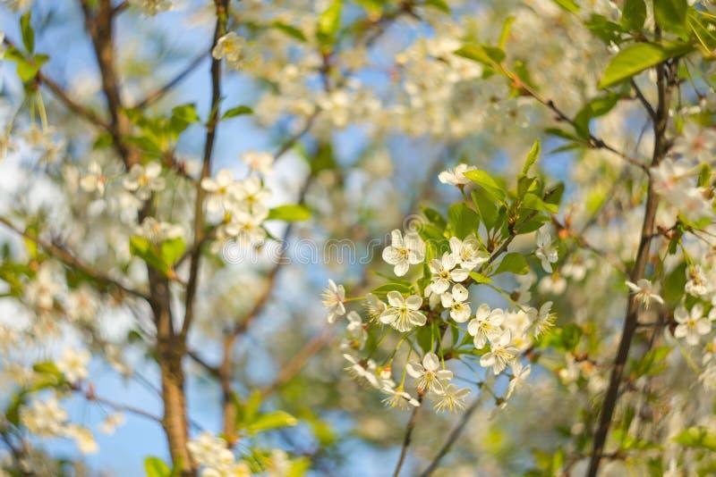 Cerisier de fleur Embranchez-vous avec de belles fleurs blanches sur le fond de ciel bleu images stock