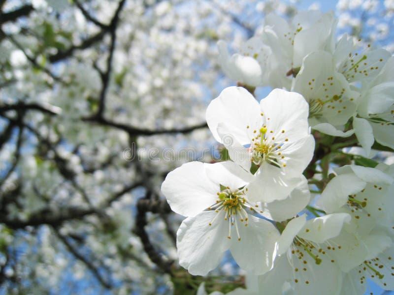 Cerisier de floraison (3) photos stock