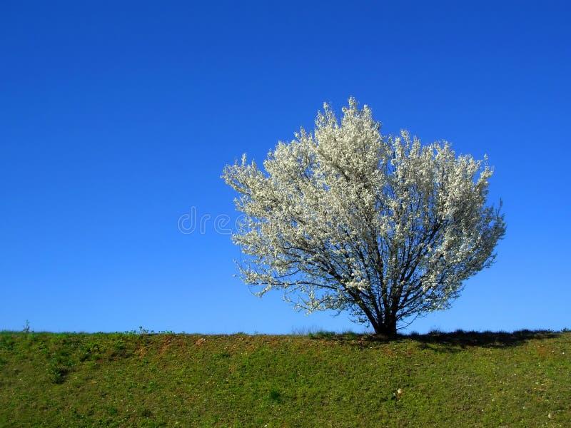 Cerisier de floraison blanc d'isolement dans un après-midi de source, hor image stock