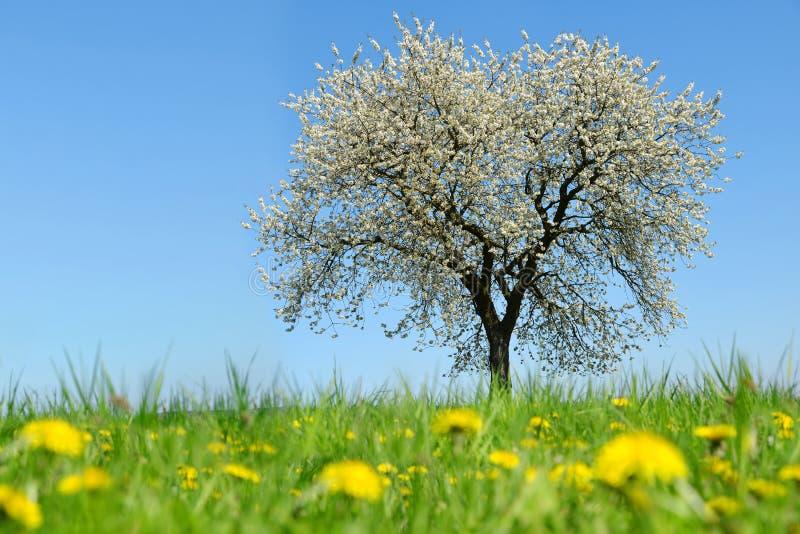 Cerisier de floraison sur le pré avec des pissenlits photographie stock libre de droits