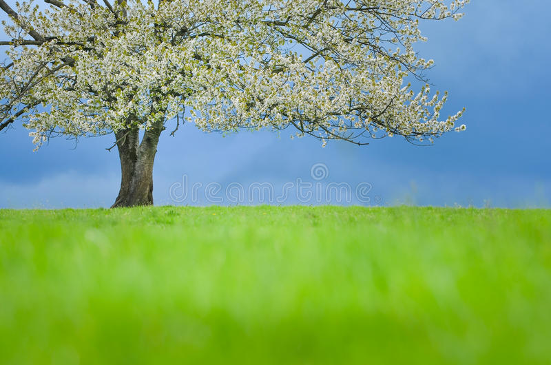 Cerisier de ressort dans la fleur sur le pré vert sous le ciel bleu Wallpaper dans des couleurs douces et neutres avec l'espace p photographie stock libre de droits