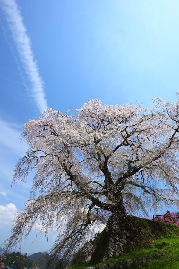 Cerisier japonais photos libres de droits