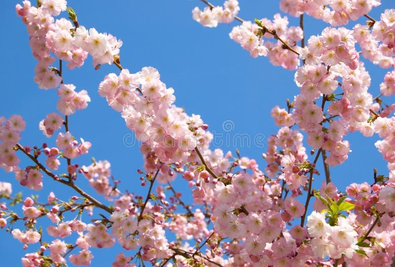 Cerisier japonais fleurissant photographie stock