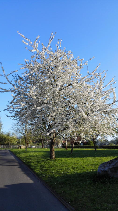 Cerisier merveilleux - Allemagne image stock