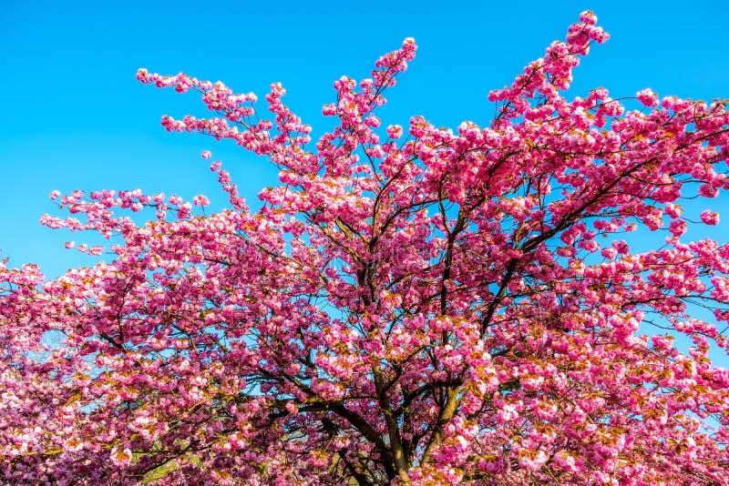 Cerisier vibrant Sakura sur le ciel bleu pendant le ressort photos libres de droits