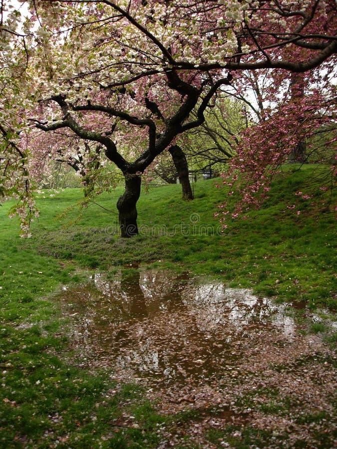 Cerisiers de fleur après pluie photographie stock libre de droits