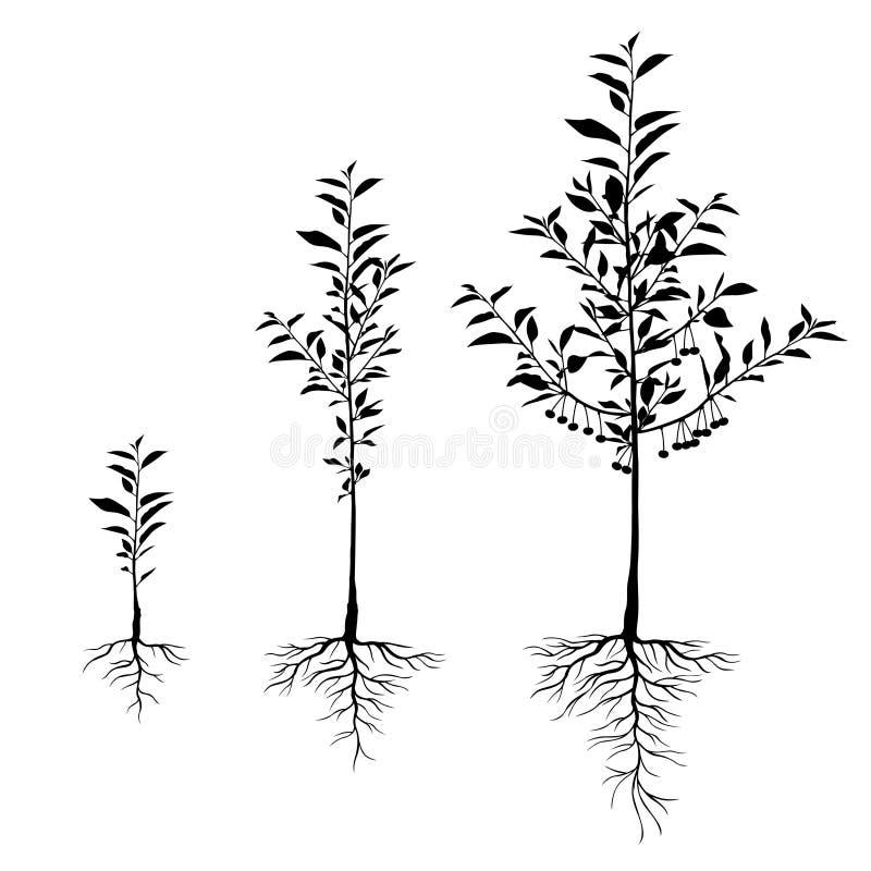 Cerisiers de jeune plante avec des racines réglées illustration de vecteur