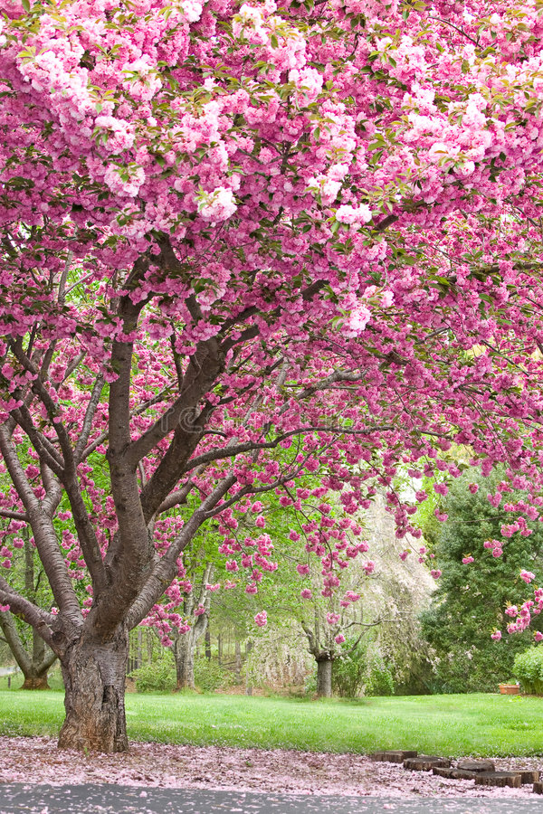 Cerisiers fleurissants roses photos libres de droits