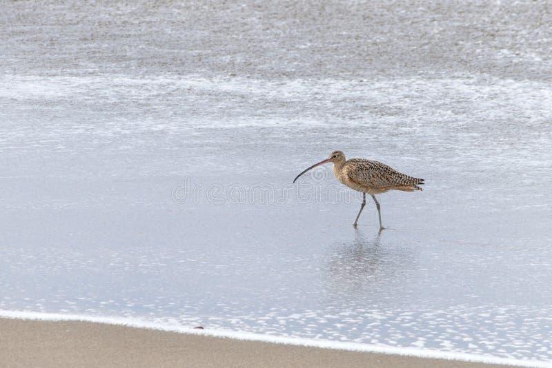 Cerlew που περπατά στην κυματωγή στην παραλία στοκ εικόνες