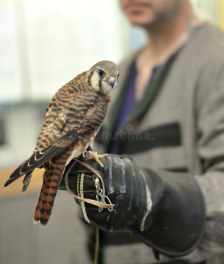 Cernícalo americano en la mano del ` s del halconero foto de archivo