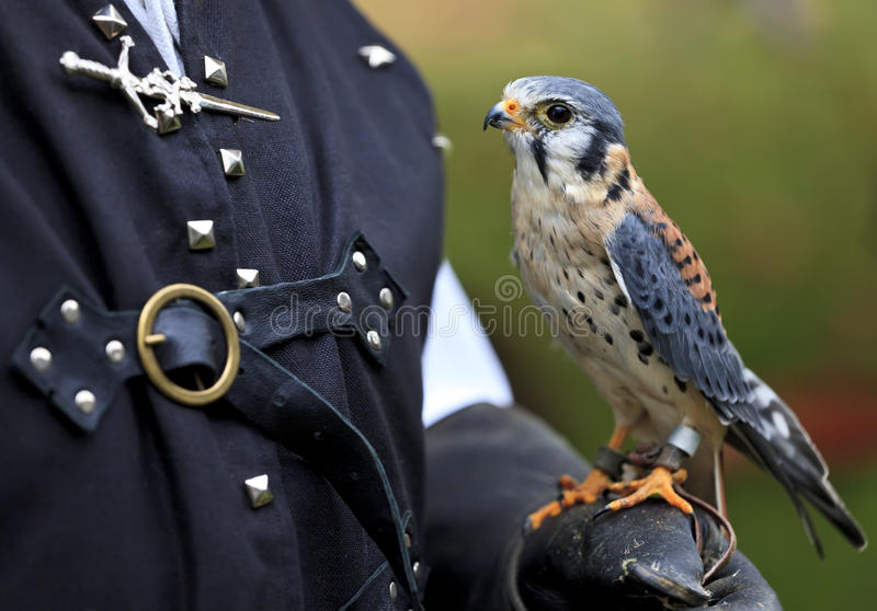 Cernícalo americano también conocido como halcón de gorrión fotos de archivo libres de regalías
