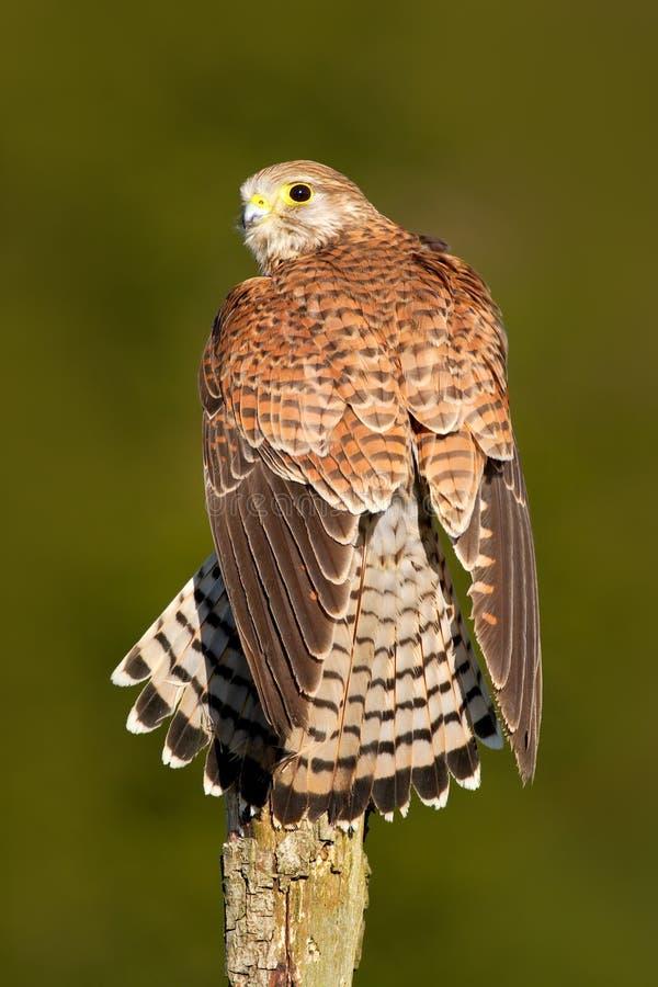 Cernícalo común que se sienta en el tocón de árbol Cernícalo común, tinnunculus de Falco, pequeñas aves rapaces que se sientan en fotos de archivo