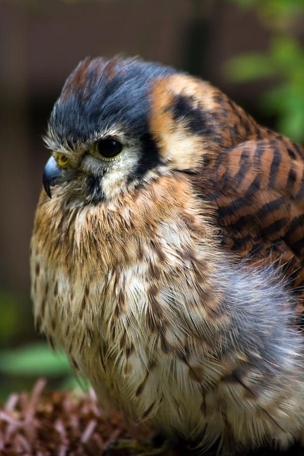 Cernícalo o halcón de gorrión americano fotos de archivo