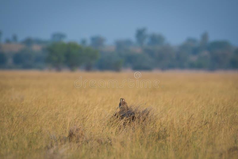 Cernícalo o tinnunculus común de Falco que se sienta en una perca hermosa en chappar tal foto de archivo libre de regalías
