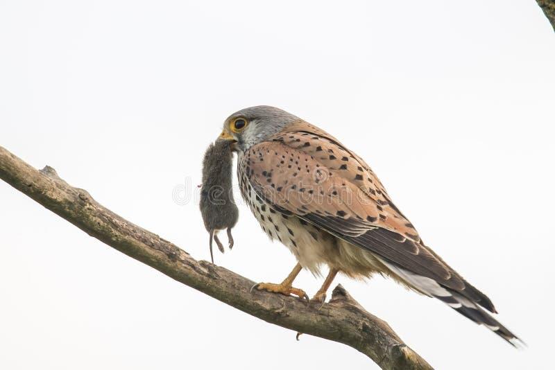 Cernícalo, tinnunculus de Falco El pájaro de ruega imagenes de archivo