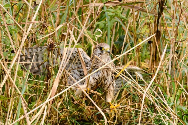 Cernícalo (tinnunculus de Falco) entre las cañas en la tierra imagenes de archivo