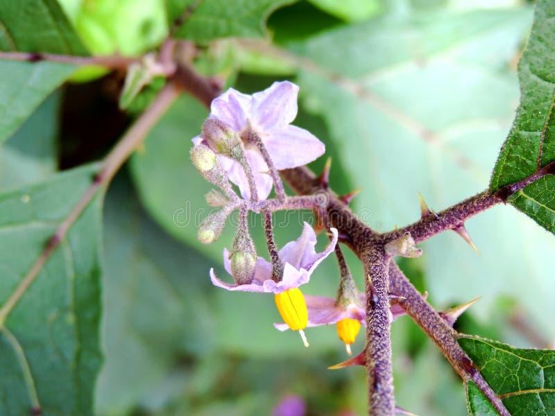 Ceropegia, specie di fiore ha trovato nel plateau di Kaas fotografia stock libera da diritti