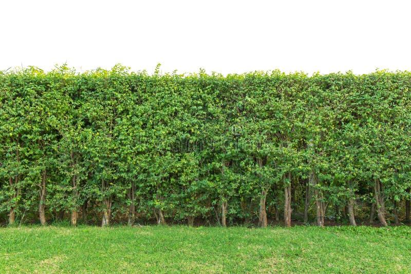 cerque la cerca o la pared de las hojas del verde aislada en el fondo blanco foto de archivo libre de regalías
