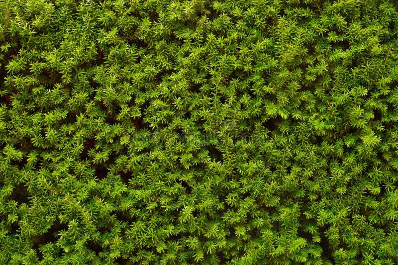 cerque Una imagen de los millares que consisten en de una pared muy decorativa de ramas verdes del tejo imagenes de archivo
