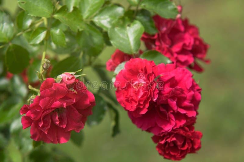 Cerrado de Rose Ludvig Vecera, de color rojo trepador fotos de archivo libres de regalías