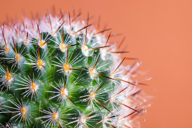 Cerrado encima de imagen del punto hermoso del cactus en backgr anaranjado del ladrillo imagenes de archivo