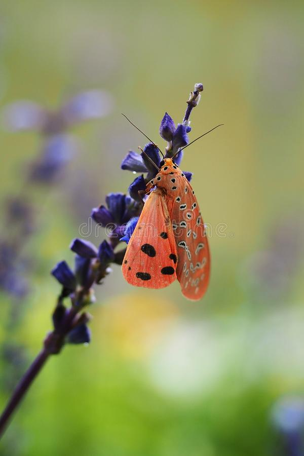 Cerrado encima de insecto de alas anaranjado inacabado en la flor púrpura en el jardín fotografía de archivo